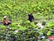 Dong Thap développe l'agrotourisme