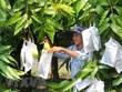 Moc Chau vise 400-500 tonnes de mangues exportées en Chine en 2019