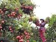 Le Vietnam stimule les exportations de litchi vers le Japon