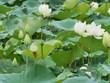 Les Hanoïens enchantés par les fleurs de lotus blanches