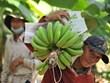 Banane - l'un des principaux produits d'exportation du Laos vers la Chine