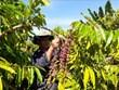 Le Vietnam devient le plus grand fournisseur de café du Japon
