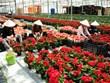 Coronavirus: exportations de fleurs de Da Lat en forte croissance
