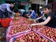 Bac Giang: De nombreuses entreprises se sont engagées à vendre des litchis du district de Tan Yen