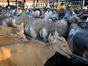 Le Vietnam, grand débouché pour le bétail australien