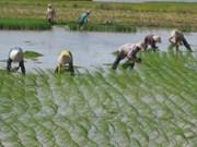 La riziculture à faibles émissions de CO2, l'une des priorités du Vietnam