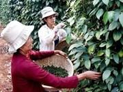 Etats-Unis, le plus grand débouché pour le poivre vietnamien