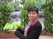 Hung Yên valorise les bananiers à tronc rouge au moyen de la marque collective