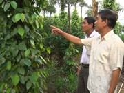 Le poivre de Quang Tri se prépare à l'enregistrement de son indication géographique