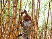 Le Cambodge inaugure la plus grande sucrerie d'Asie
