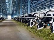Mesures de développement durable du cheptel bovin au Vietnam