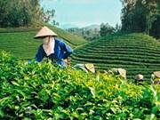 Le Pakistan, 1er marché d'exportation du thé vietnamien