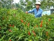 Piment : un projet sud-coréen de 2,1 millions de dollars à Ninh Thuân