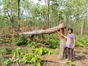 Près de 400 millions de dollars pour la restauration et le développement des forêts du Tay Nguyen