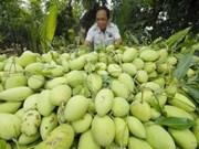 Un grand volume de mangue vietnamienne expédié en Australie
