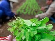 Les légumes bio de Hoa Viên