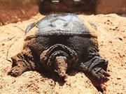 Le lucratif élevage des tortues à épines