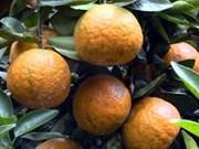 Certificat d'indication géographique pour l'orange à pelure rugueuse de Hà Giang