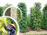 Plantations de poivriers, nouveau filon écotouristique de Phu Quôc