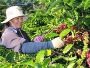 Des mesures pour développer la caféiculture