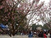 Fête des cerisiers en fleurs au bord du lac Hoàn Kiêm