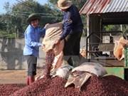 Le Vietnam veut développer la caféiculture durable