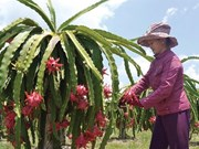 De nouvelles perspectives pour le fruit du dragon de Binh Thuân