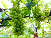 Ninh Thuân mise sur les vastes exploitations pour développer la viticulture