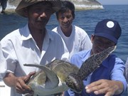 Projet d'écloserie pour favoriser le retour des tortues de mer à Cu Lao Cham