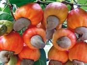 Les exportations nationales de noix de cajou se portent bien