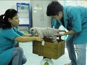 Trois tigrons blancs naissent au zoo de Hô Chi Minh-Ville