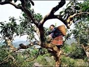 """Yên Bai: 400 théiers séculaires Shan reconnus """"Arbre patrimonial du Vietnam"""""""