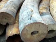 Saisie de 97,8 kilos de défenses d'éléphant à Hanoi