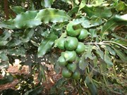 Création de l'Association du macadamia du Vietnam