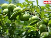 Fête de la cueillette des prunes à Môc Châu