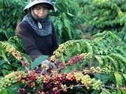 Les exportations de café atteindront 1,5 million de tonnes en 2016