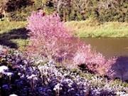 Bientôt la Fête des cerisiers de Dà Lat