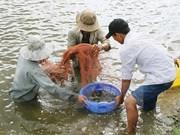 Dans le delta du Mékong, une pénéiculture à réinventer