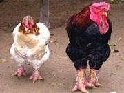 Le poulet Dong Tao, une race locale très prisée