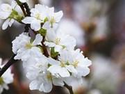 Fête des cerisiers en fleurs à Hanoï, symbole de l'amitié Vietnam-Japon
