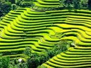 Les rizières en terrasses de Mu Cang Chai à l'honneur