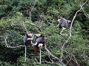 Un primate rare remis au Parc national de Cuc Phuong