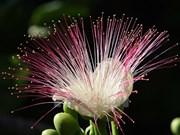 Le spectacle féérique des fleurs de badamier de Truong Sa