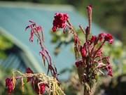 Le Têt des fleurs chez l'ethnie Công