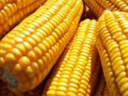 Près de 960.000 tonnes de maïs importées en janvier