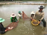 Expansion de la crevetticulture bio dans le delta du Mékong
