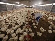 L'Indonésie s'emploie à endiguer la propagation de la grippe aviaire depuis la Malaisie