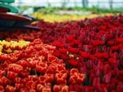 Le plus grand festival des tulipes du Vietnam à Vinpearl Nha Trang