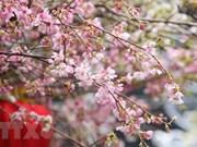 Quelque 20.000 branches de cerisier en fleurs illuminent le centre-ville de Hanoï