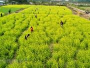 Contempler les champs de fleurs des choux jaunes à Hanoï en hiver